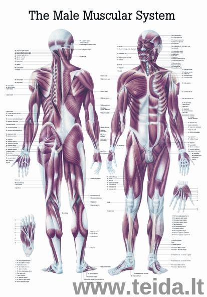 """Plakatas """"Žmogaus raumenų sistema"""""""