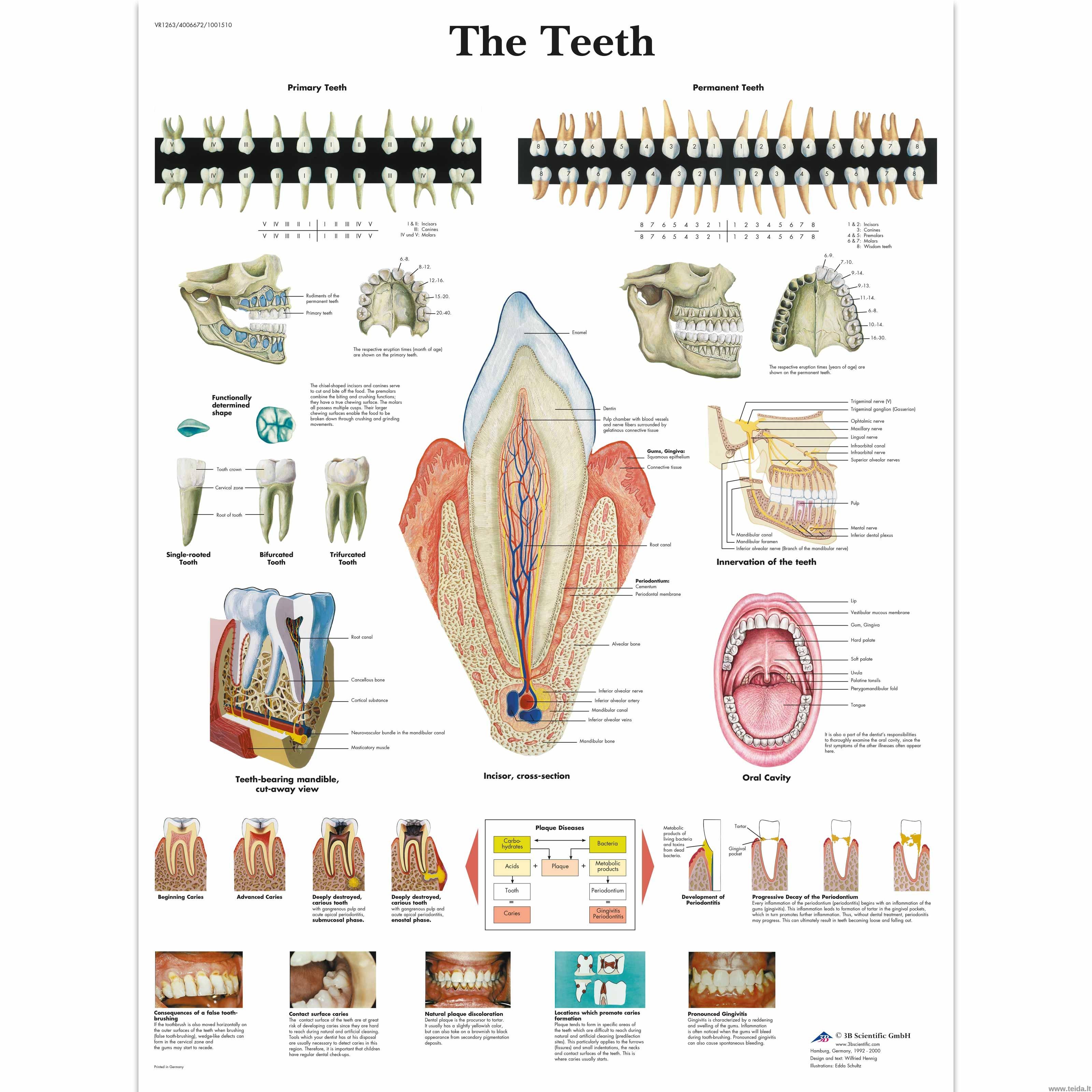 """Anatominis plakatas """"Dantys"""""""