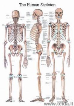 """Plakatas """"Žmogaus skeletas"""""""